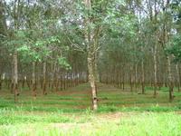 Каучуковые плантации
