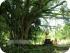 Старое дерево на острове Бали