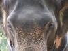 Слон в Таиланде